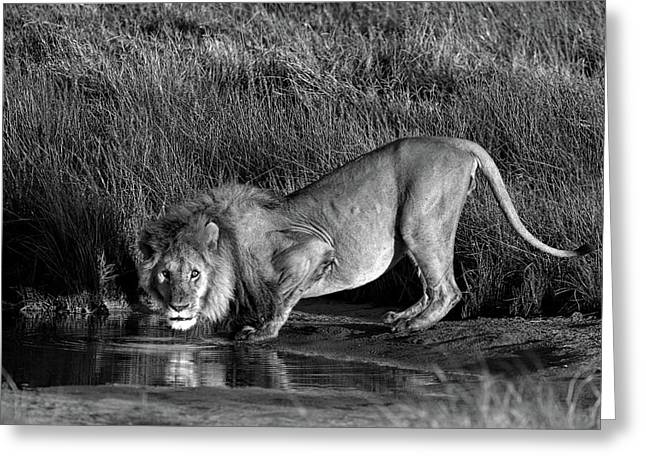 Side Profile Of A Lion Drinking Water Greeting Card