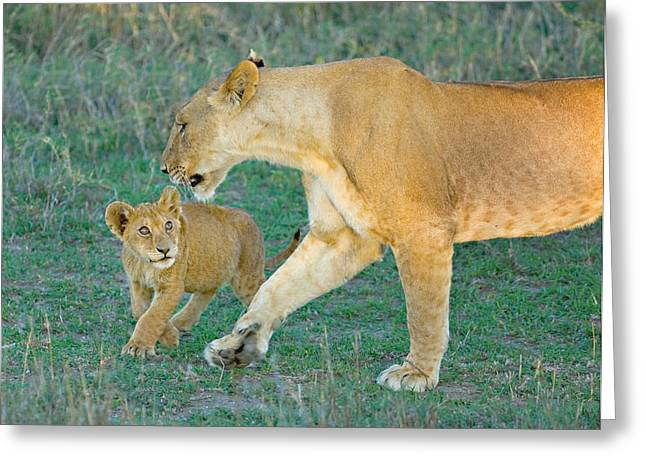 Side Profile Of A Lioness Walking Greeting Card by Panoramic Images