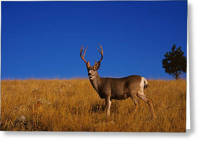 Side Profile Of A Mule Deer Standing Greeting Card by Panoramic Images