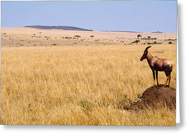 Side Profile Of A Topi Standing Greeting Card by Panoramic Images