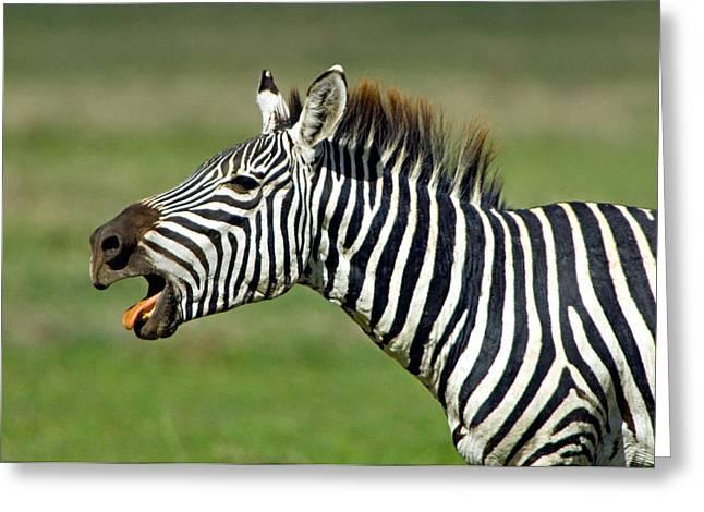 Side Profile Of A Zebra Braying Greeting Card