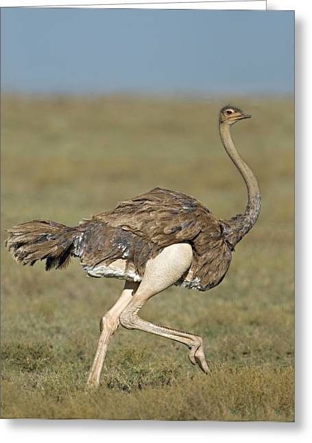 Side Profile Of An Ostrich Running Greeting Card by Panoramic Images