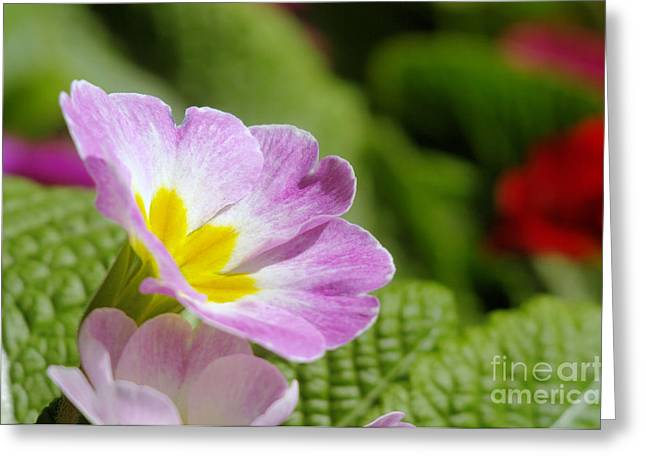 Side View Of A Spring Pansy Greeting Card by Jeff Swan