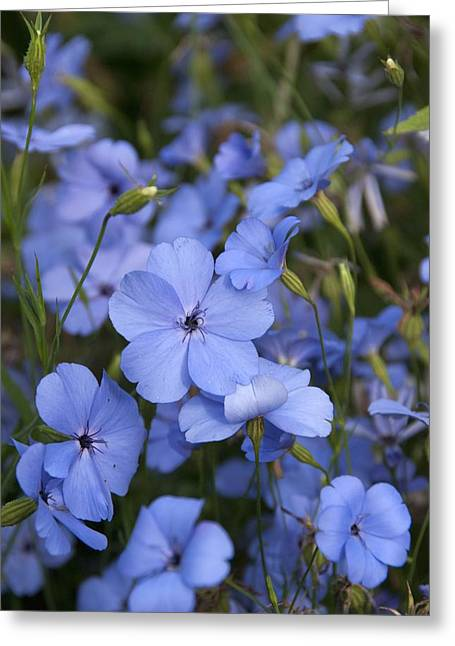 Silene Coeli-rosa 'blue Angel' Greeting Card by Science Photo Library