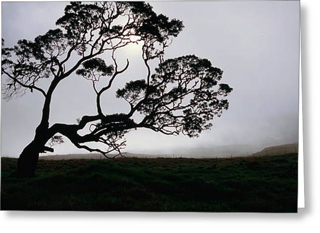 Silhouette Of A Koa Tree, Mauna Kea Greeting Card by Panoramic Images
