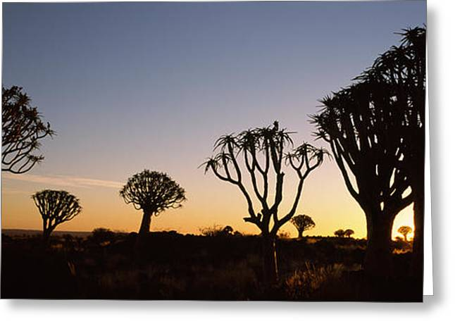 Silhouette Of Quiver Trees Aloe Greeting Card by Panoramic Images