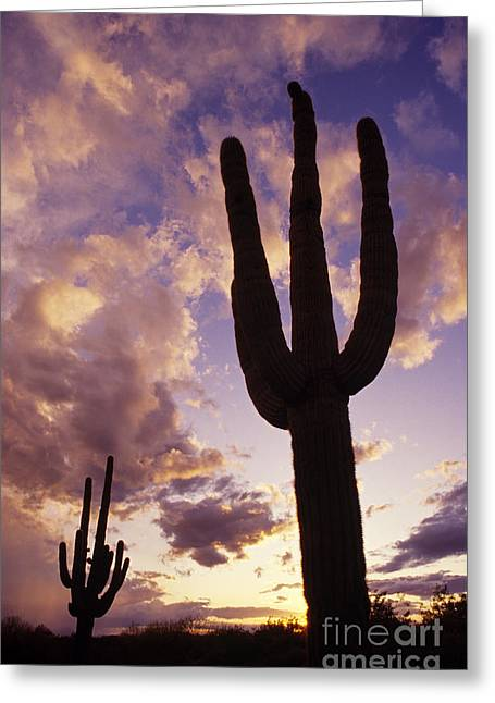 Silhouetted Saguaro Cactus Sunset At Dusk Arizona State Usa Greeting Card