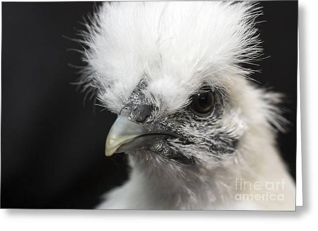 Silkie Chicken Portrait Greeting Card