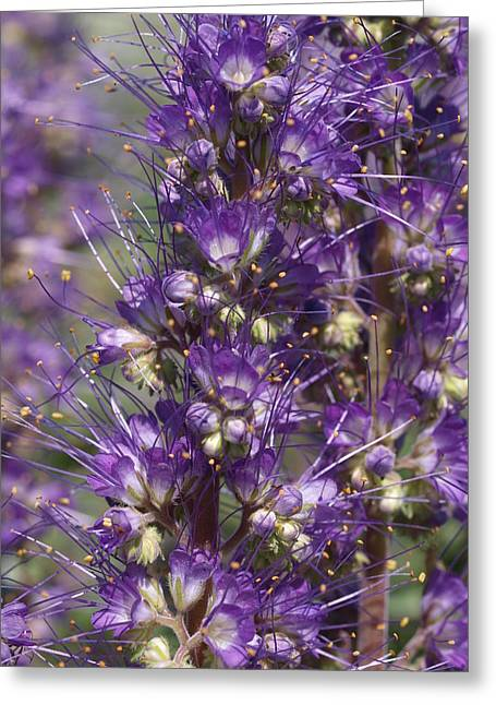Silky Phacelia Greeting Card by Jenessa Rahn