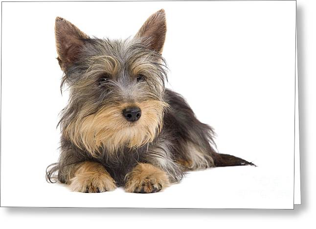 Silky Terrier Puppy Dog Greeting Card