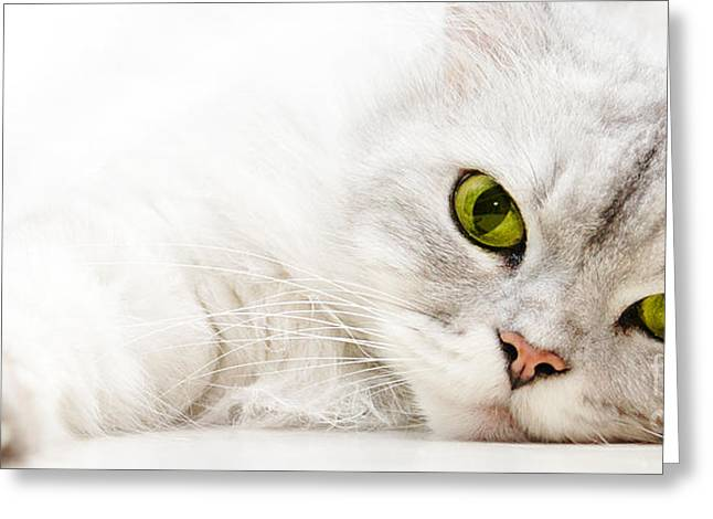 Greeting Card featuring the photograph Silver Shaded Persian by Carsten Reisinger