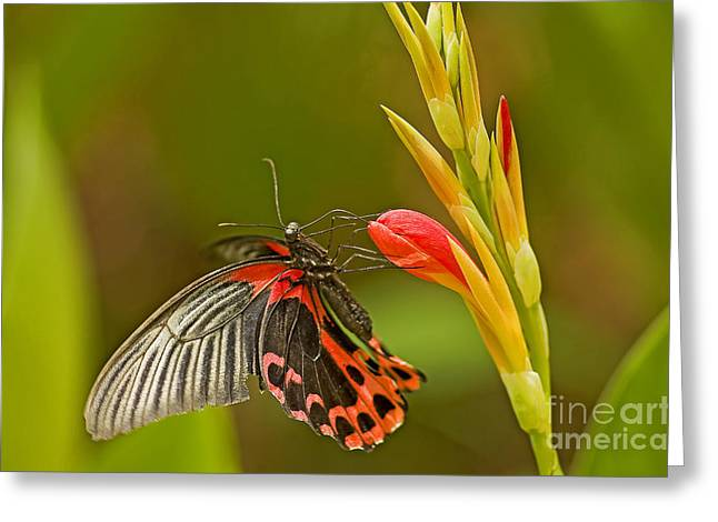 Silver Spotted Flambeau Greeting Card by Nick  Boren