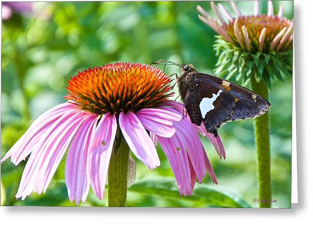 Silver-spotted Skipper And Echinachea Greeting Card