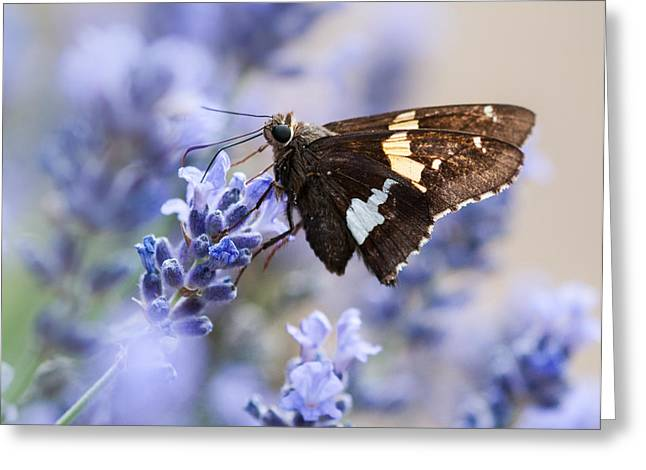 Silver Spotted Skipper On Lavender Greeting Card by Lara Ellis