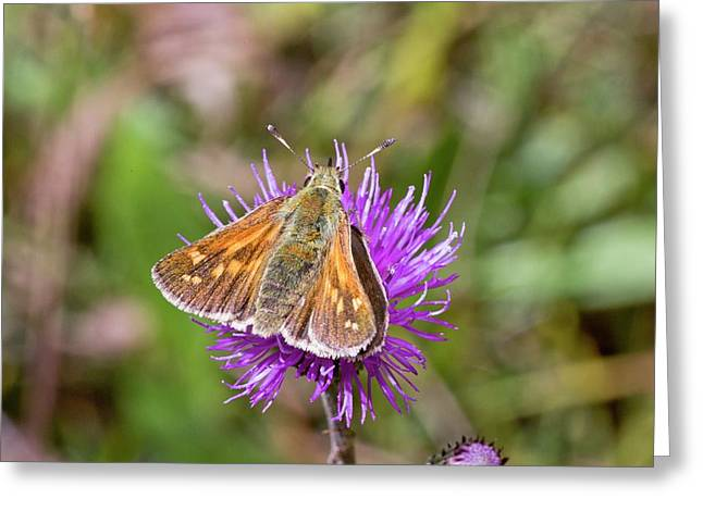 Silver-spotted Skipper On Thistle Flower Greeting Card by Bob Gibbons