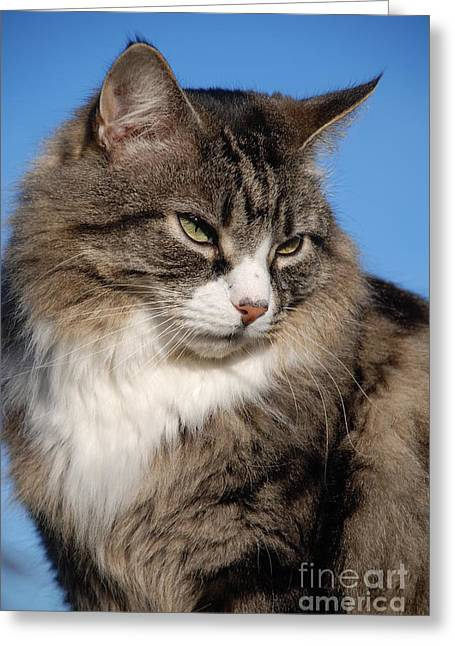 Silver Tabby Cat Greeting Card