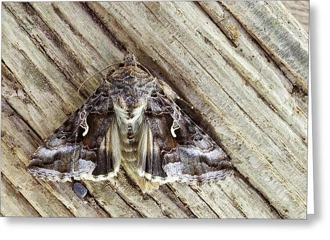 Silver Y Moth Greeting Card by David Aubrey