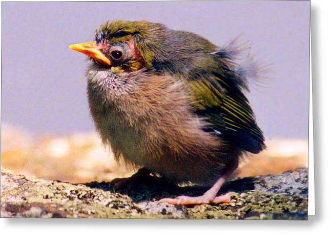 Silvereye Chick Greeting Card