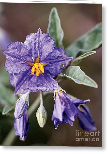 Silverleaf Nightshade Greeting Card by Susan Schroeder