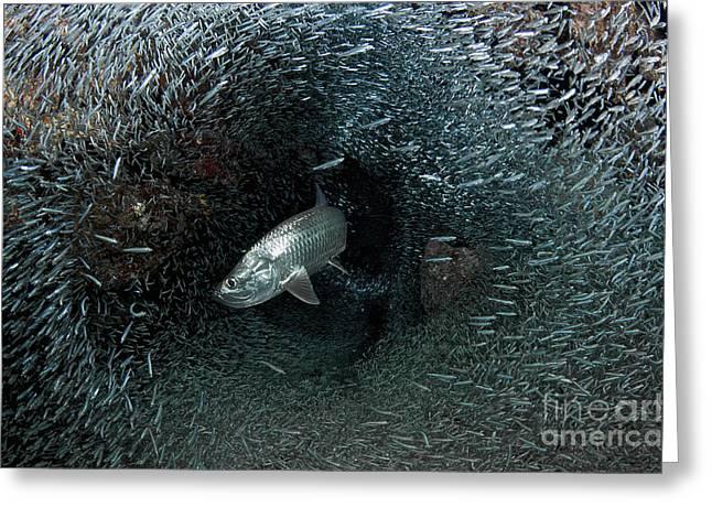 Silversides Evading Their Prey, The Greeting Card by Amanda Nicholls