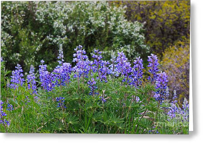Greeting Card featuring the photograph Silvery Lupine Black Canyon Colorado by Janice Rae Pariza