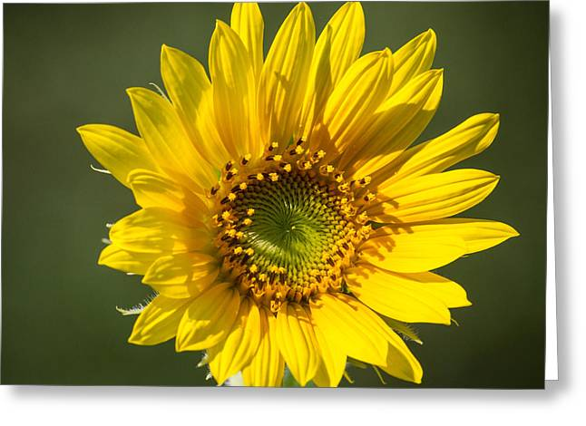 Simple Sunflower Greeting Card
