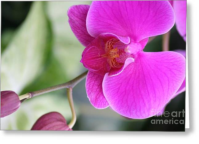 Simply Delicate Pink Orchid Greeting Card by Mary Lou Chmura