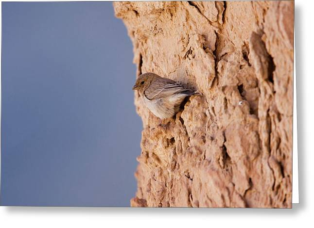 Sinai Rosefinch (carpodacus Synoicus) Greeting Card by Photostock-israel