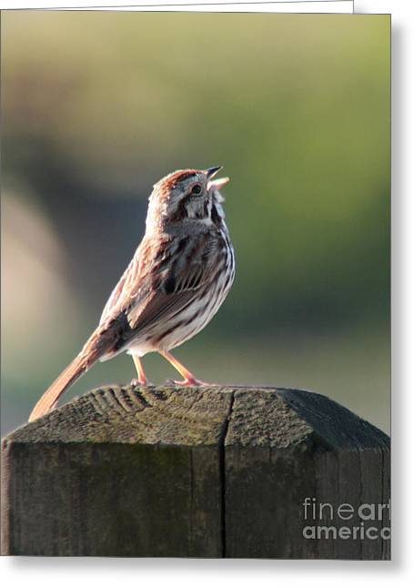 Greeting Card featuring the photograph Singing Song Sparrow by Anita Oakley