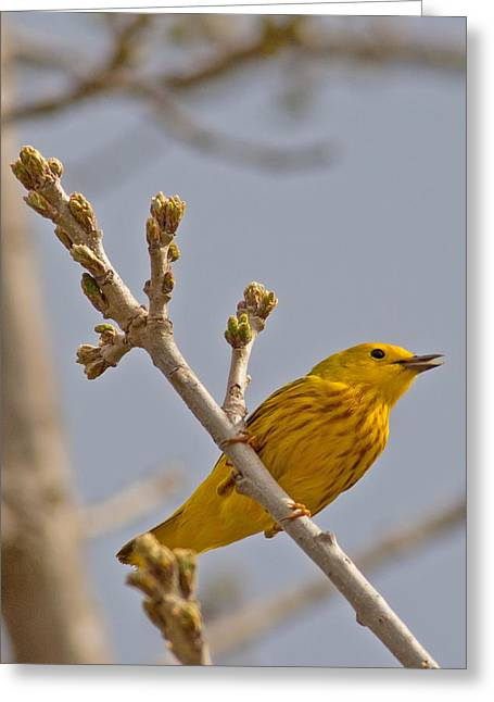 Singing Yellow Warbler Greeting Card by Natural Focal Point Photography