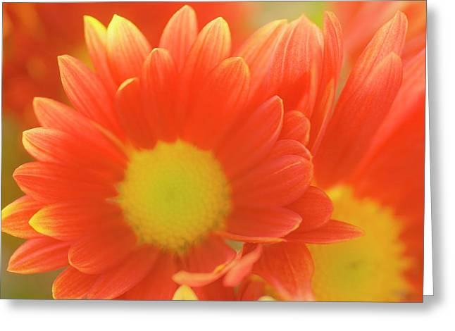 Single Chrysanthemum 'macho' Greeting Card
