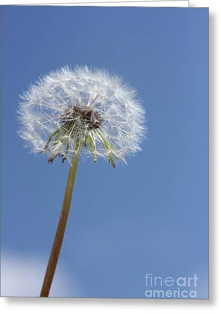 Single Dandelion Greeting Card by Rachel Duchesne
