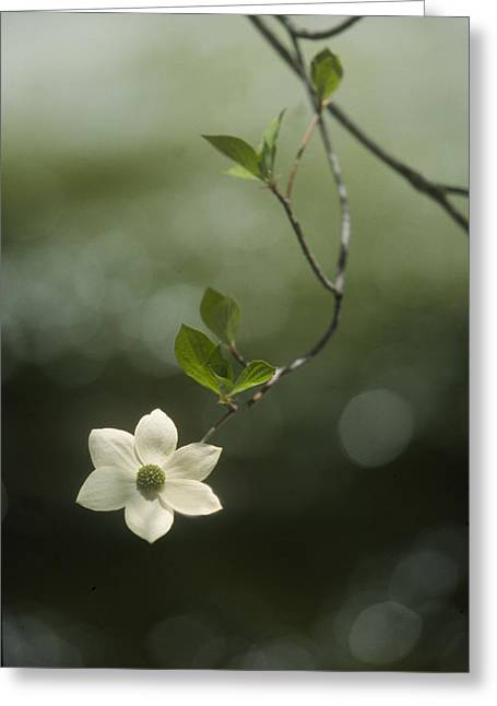 Greeting Card featuring the photograph Single Dogwood Blossom by Judi Baker