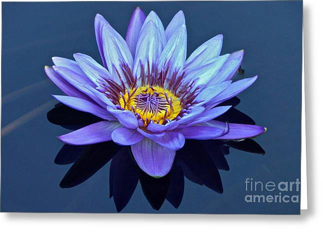 Single Lavender Water Lily Greeting Card