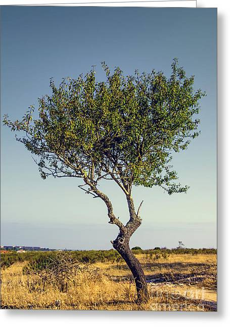 Single Olive Tree Greeting Card by Carlos Caetano