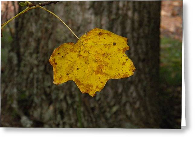 Greeting Card featuring the photograph Single Poplar Leaf by Nick Kirby
