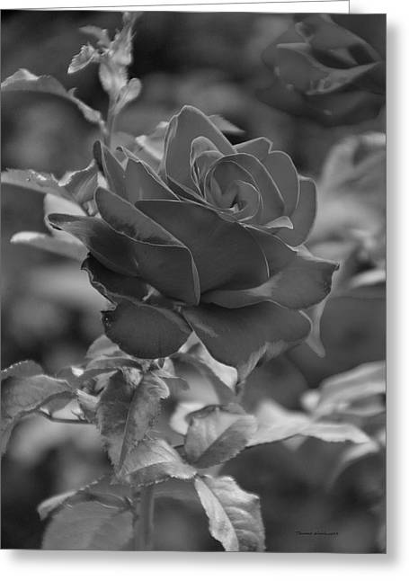 Single Red Rose Bw Greeting Card by Thomas Woolworth
