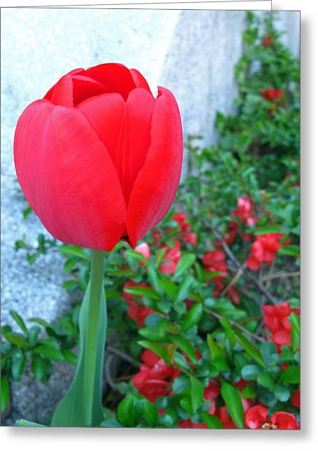 Single Red Tulip Greeting Card by Barbara McDevitt