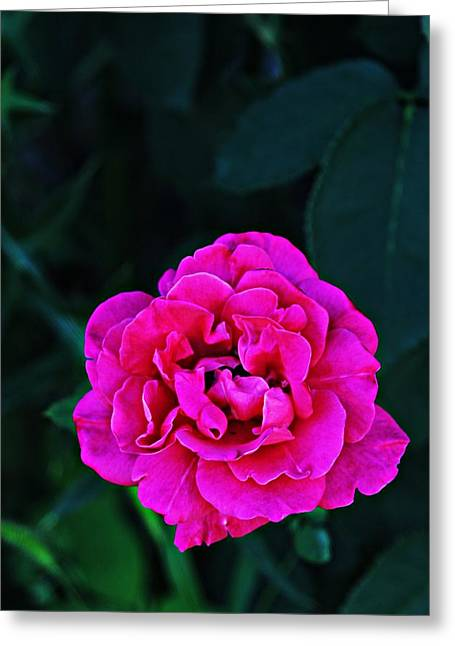 Single Rose Greeting Card by Jp Grace