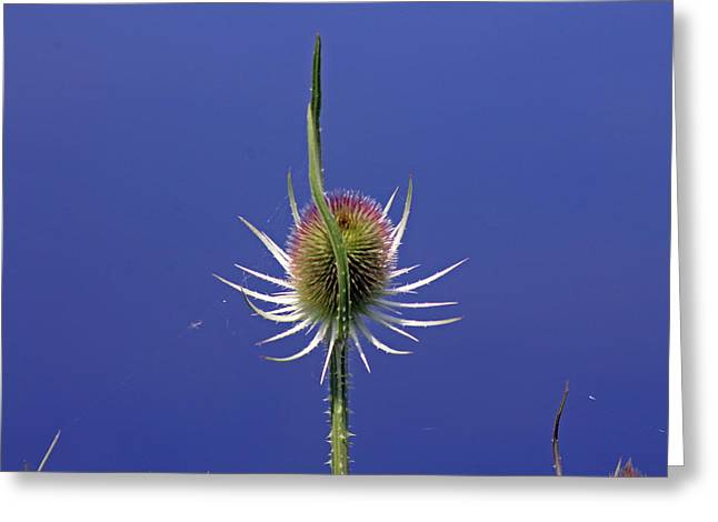 Single Teasel Greeting Card