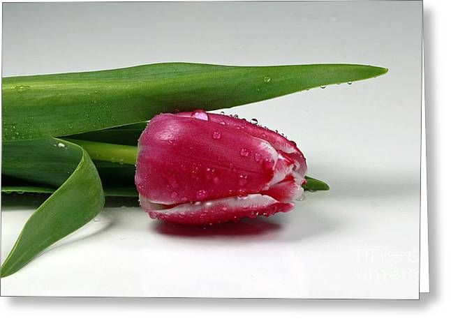Single Tulip With Raindrops Greeting Card