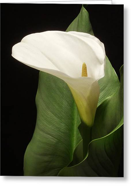 Single White Calla Greeting Card