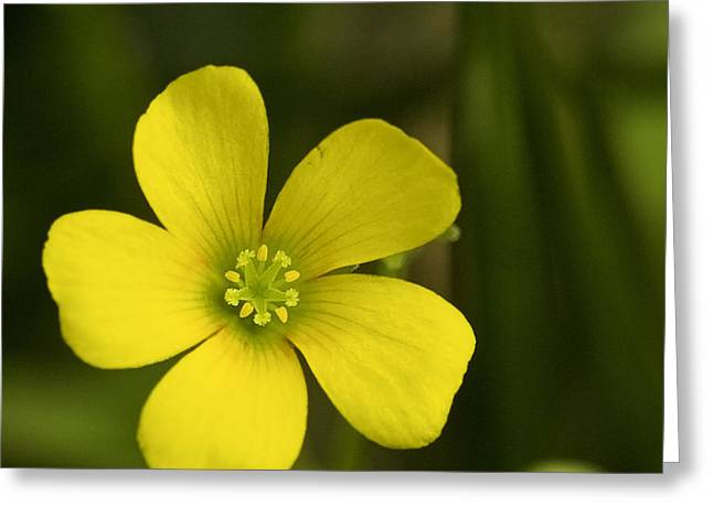 Single Yellow Flower Greeting Card by John Holloway