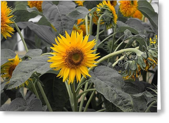 Single Yellow Sunflower Greeting Card