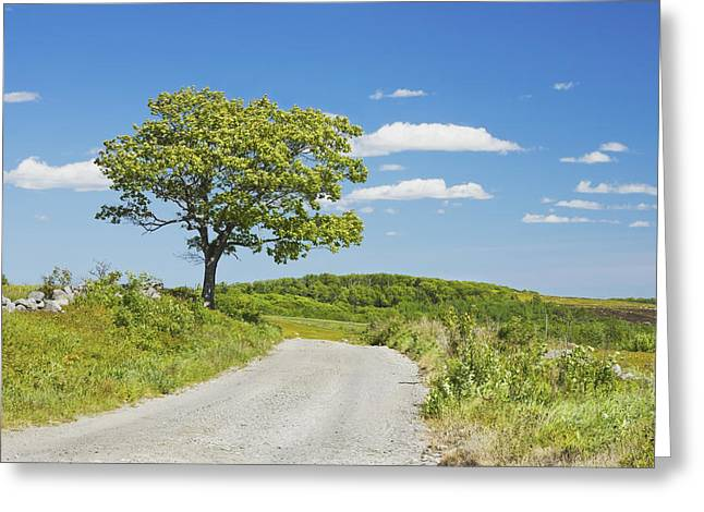Sinlge Tree And Dirt Road  In Spring Blueberry Field Maine Greeting Card