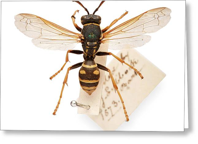 Sir John Lubbock's Pet Wasp Greeting Card by Natural History Museum, London