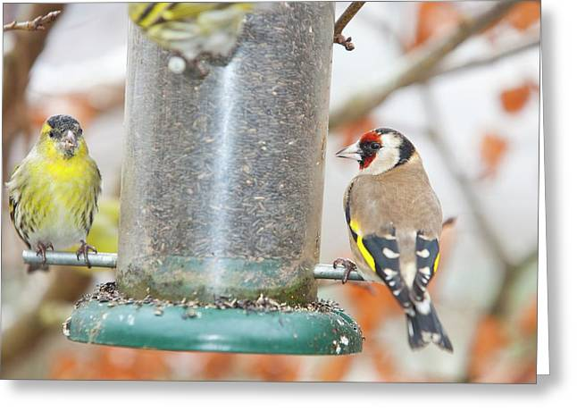 Siskins And Goldfinch On Feeder Greeting Card