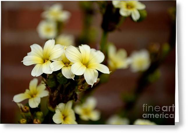 Sisyrinchium Striatum Greeting Card by Scott Lyons