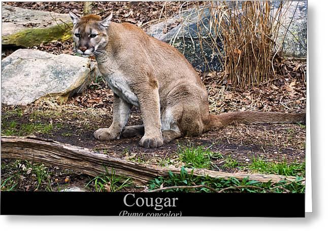 sitting Cougar Greeting Card by Chris Flees