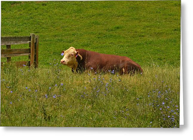 Sitting Cow Greeting Card